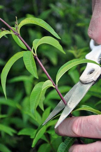 How to grow lemon verbena in a New Zealand garden