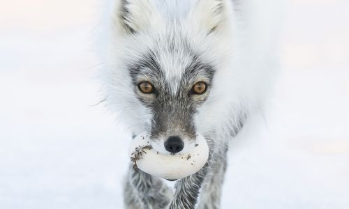 Everything you need to know about Arctic foxes