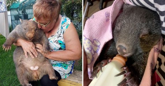 Grandma Julie has spent thousands on saving wombats