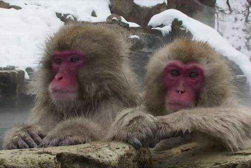 These Monkeys Soaking in a Hot Spring Will Melt Your Heart