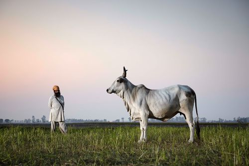 Holy cow! 10 surprisingly beautiful photos of cows all over the world