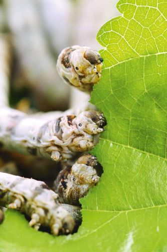 Why silkworm caterpillars make fantastic and unusual pets