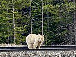 Ultra rare white grizzly bear spotted near a tourist resort in Banff National Park