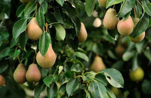 8 tricks to successful pear growing