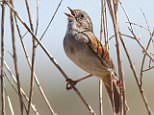 American swamp sparrows have been chirping same song for 1,000 years