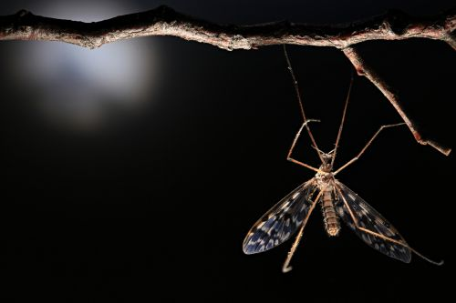 The Rare Primitive Crane Fly and the Inelegancies to Find It