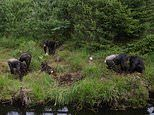 Chimpanzees use sticks to dig up food buried in the soil even if they have never been shown how