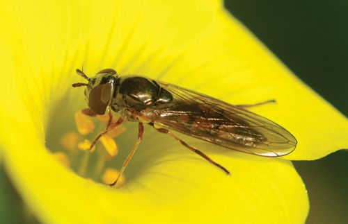 Why hoverflies could be critical for future food security