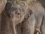 Newborn elephant calf born to great-grandmother at Chester Zoo