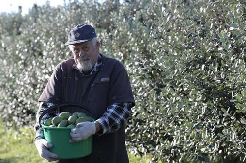 White Goose orchard's special feijoa trees bare 160kg of fruit per tree
