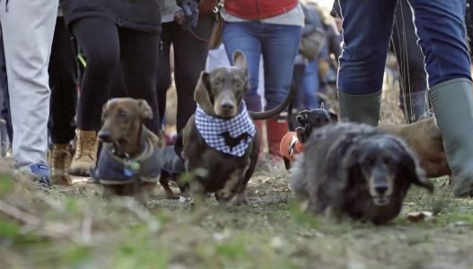 400 sausage dog-lovers gather together to walk their Dachshunds