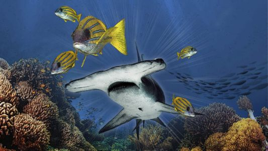 When sharks are fished-out from coral reefs, fish body shapes change