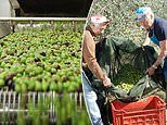 How brave couple left behind city careers in search of the best olive oil Italy has to offer