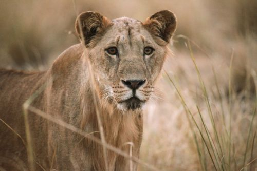 Are Africa's Forgotten Lions Doomed to Slip Into Extinction, Unnoticed?