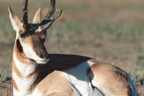 Animal Facts: Pronghorn