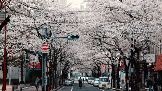 Where to see cherry blossoms in Japan this year