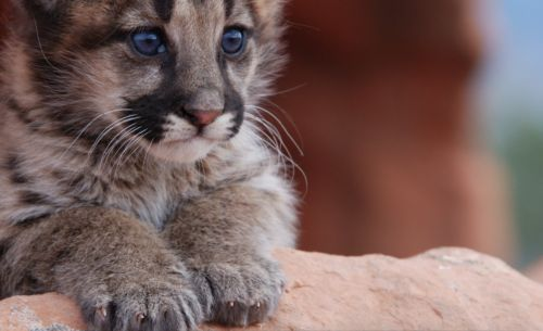 Keeping Mountain Lion Kittens Safer