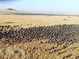 Tourist in hot air balloon over the Masai Mara captures incredible footage of wildebeest