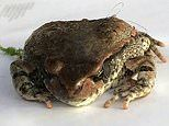 Stowaway South African river frog arrives in UK