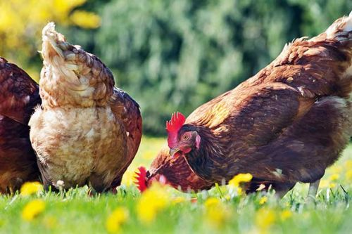 Poultry anatomy 101: What happens when a chicken eats
