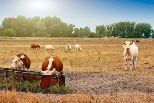 12 tips for caring for cattle this summer: grow healthy calves and yearlings