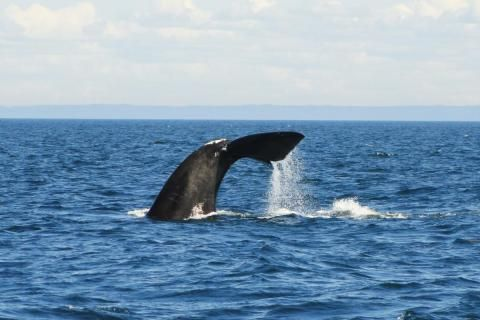 Federal government announces new measures to protect endangered North Atlantic right whales