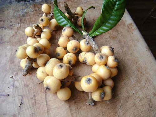 How to grow loquat trees in New Zealand - PLUS uses for loquat wood