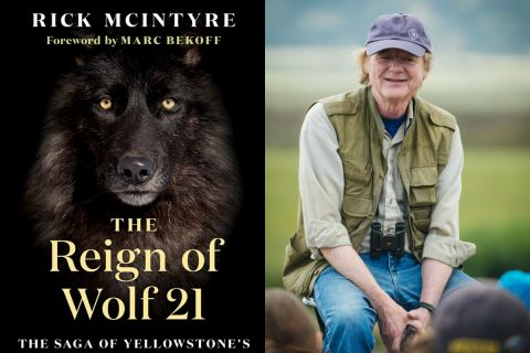 Excerpt from The Reign of Wolf 21: The Sage of Yellowstone's Legendary Druid Pack