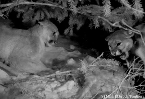 Giving To Get: Reciprocity Among Mountain Lions