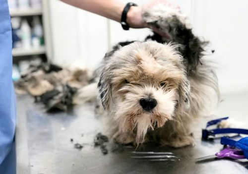 Neglected dog gets three hour makeover to shave off 4.5lb of matted fur