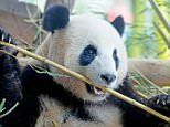 German zoo hopes to cure panda's bad habit with sex
