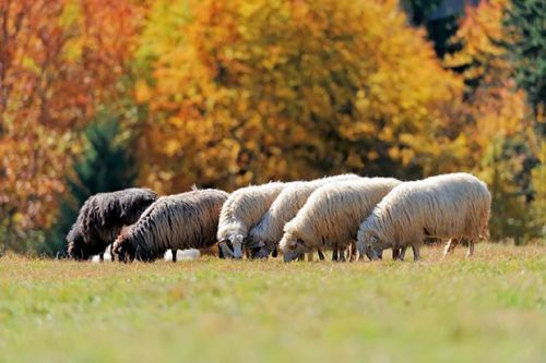 Tidying, monitoring and shearing: Sheep tips for autumn