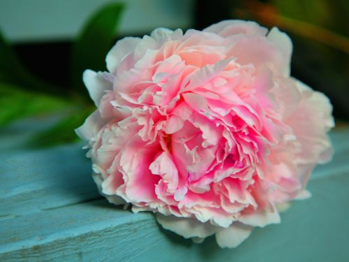 What To Do Now To Get Gorgeous Peonies Next Year