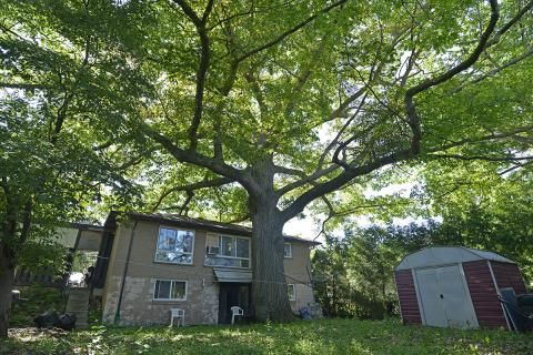"""""""If this tree could talk:"""" The fight to save Zhelevo, Toronto's most iconic red oak"""