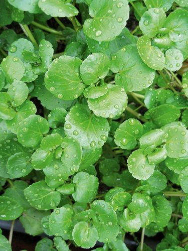 9 tips for growing watercress