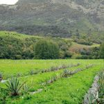 How to grow tequila in New Zealand