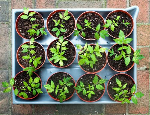 6 keys to tomato-growing success in small spaces