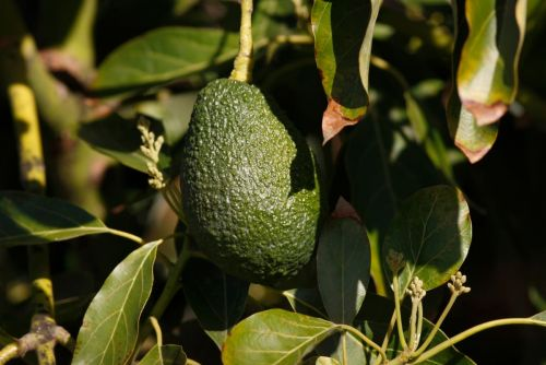Buzzy Beauty Ingredient of the Moment: Avocado Oil