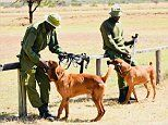 Bloodhounds Warrior and Machine help catch poachers in Kenya