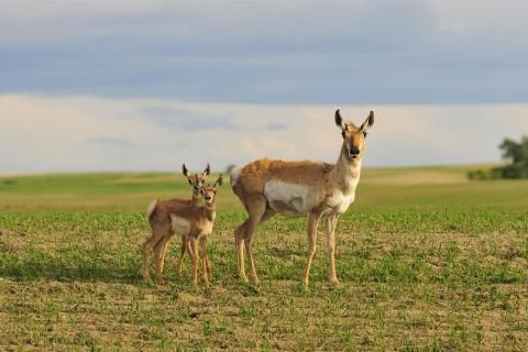 For the love of pronghorns