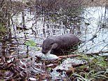 Otter spotted in Chernobyl Exclusion Zone, as wildlife continues to thrive