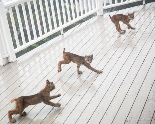 Guy wakes up to a strange noise, finds eight lynxes chilling on his porch