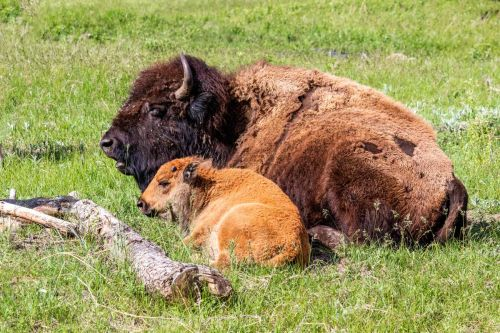 Wild at Heart: Yellowstone National Park
