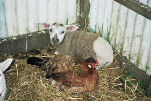 How to knit a lamb jacket