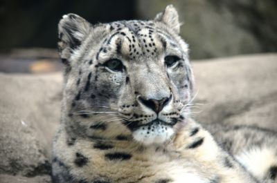 Akron Zoo mourns loss of Roscoe the snow leopard