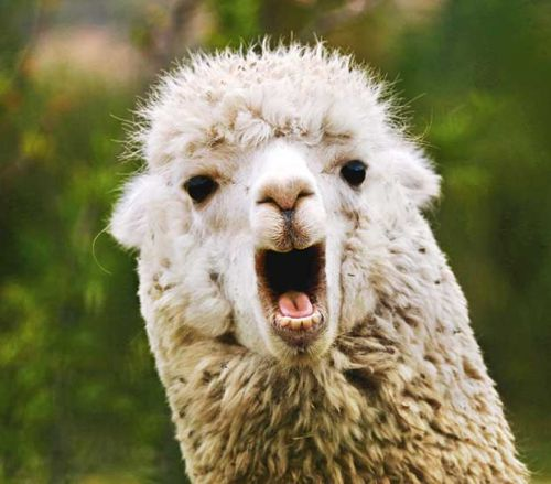 The alpaca spit dance: The disgusting consequence of getting caught in an alpaca food war