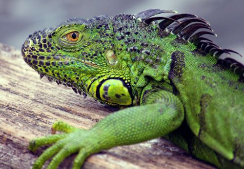 Conservationists divided on Florida's decision to kill off invasive iguanas