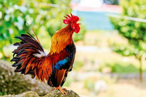What is your chicken trying to tell you? A guide to poultry signals and hen clucks and cackles