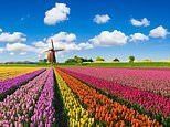 Exclusive for Mail on Sunday readers: See tulip fields burst into colour with Adam Frost