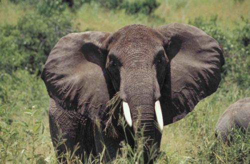 The Time Has Come for an EU-Wide Domestic Ivory Ban